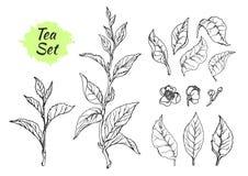 Grupo de ramos do arbusto do chá com folhas Vetor Fotografia de Stock Royalty Free