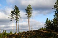 Grupo de árboles de pino altos Foto de archivo libre de regalías