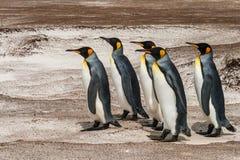 Grupo de recorrer de los pingüinos de rey Fotografía de archivo