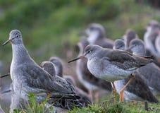Grupo de Redshanks comuns (totanus do Tringa) Fotografia de Stock