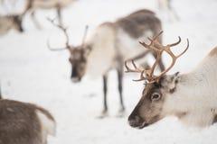 Grupo de renas no inverno Fotos de Stock Royalty Free