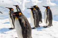 Grupo de rey pingüino que recorre en nieve Foto de archivo