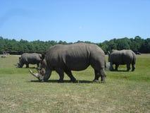 Grupo de Rhinos imagens de stock royalty free