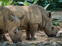 Grupo de rinocerontes Imagem de Stock