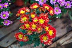 Grupo de Roosvygie de flores Fotografia de Stock Royalty Free