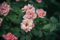 Grupo de rosa del rosa con la abeja que encuentra un poco de miel para el día de San Valentín Imagen de archivo libre de regalías