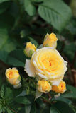 Grupo de rosas amarelas Foto de Stock