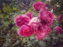 Grupo de rosas cor-de-rosa após a chuva Fotografia de Stock Royalty Free