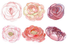 Grupo de rosas e de peônias Fotografia de Stock Royalty Free