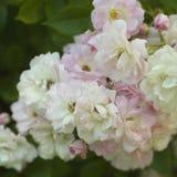 Grupo de rosas selvagens Imagem de Stock