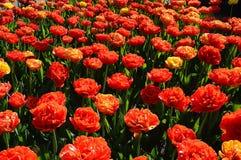 Grupo de Rose Tulips, muitas flores Fotografia de Stock