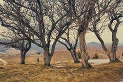 Grupo de árvores do hornbeam Foto de Stock Royalty Free