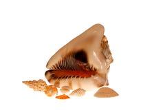 Grupo de seashells grandes y pequeños aislados. Foto de archivo libre de regalías