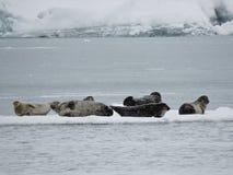 Grupo de sellos en el iceberg, Islandia Foto de archivo libre de regalías
