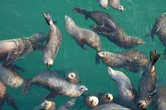 Grupo de sellos en el océano Fotografía de archivo libre de regalías