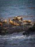 Grupo de sellos y de leones marinos, canal del beagle, Ushuaia, la Argentina imagen de archivo