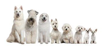Grupo de sentarse blanco de los perros Fotos de archivo