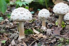 Grupo de setas blancas que crecen en el bosque, parasol lanudo fungoso potencialmente venenoso - rhacodes de Chlorophyllum, veran Fotografía de archivo libre de regalías