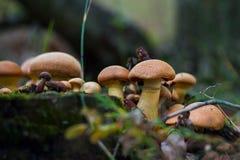Grupo de setas iluminadas por el sol - seta de ostra del lim?n que crece en un toc?n de ?rbol viejo en el bosque imagen de archivo