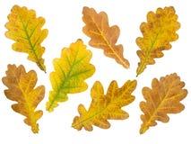 Grupo de sete folhas do carvalho isoladas no branco Imagens de Stock Royalty Free