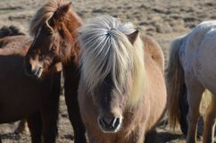 Grupo de Shaggy Icelandic Ponies Standing Together foto de stock royalty free