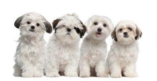 Grupo de Shih Tzu y sentada maltesa del perrito Fotografía de archivo