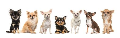 Grupo de siete perros de la chihuahua que hacen frente a la cámara aislada en un wh Foto de archivo