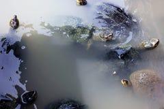 Grupo de slider Vermelho-orelhudo ou de tartarugas de água doce, nadando em um lago fotografia de stock