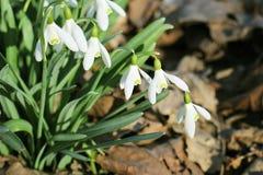 Grupo de snowdrops brancos delicados na primavera no parque Imagem de Stock