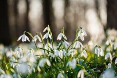Grupo de snowdrops de la primavera que florece en el bosque Imagen de archivo libre de regalías
