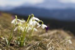 Grupo de snowdrops macios bonitos e de um açafrão violeta brilhante Imagem de Stock