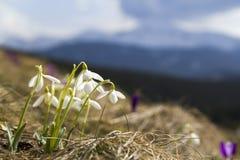 Grupo de snowdrops macios bonitos e de um açafrão violeta brilhante Fotos de Stock Royalty Free