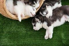 Grupo de sono dos cachorrinhos do cão de puxar trenós siberian Fotos de Stock