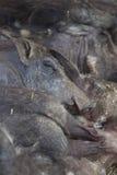 Grupo de sono dos javalis africanos Fotografia de Stock Royalty Free