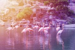 Grupo de soporte rosado de los flamencos en agua imágenes de archivo libres de regalías