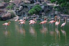 Grupo de soporte rosado de los flamencos en agua fotografía de archivo