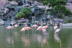 Grupo de soporte rosado de los flamencos en agua fotos de archivo libres de regalías