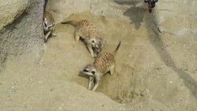 Grupo de suricatta del Suricata del meerkat que cava en la arena y que juega alrededor metrajes