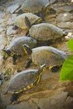Grupo de tartarugas Fotografia de Stock Royalty Free