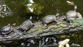 Grupo de tartarugas que descansam no log vídeos de arquivo