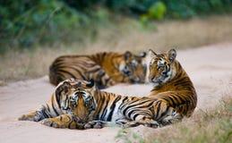 Grupo de tigres selvagens na estrada India PARQUE NACIONAL DE BANDHAVGARH Madhya Pradesh Imagem de Stock