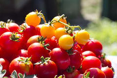 Grupo de tomates frescos Imagem de Stock