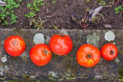 Grupo de tomates frescos Foto de Stock Royalty Free