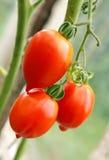 Grupo de tomates maduros Imagem de Stock Royalty Free