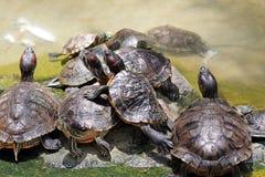 Grupo de tortugas jovenes que toman el sol en luz del sol Imagenes de archivo