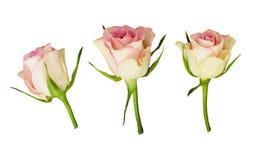 Grupo de três brancos e de flores cor-de-rosa cor-de-rosa Fotografia de Stock Royalty Free