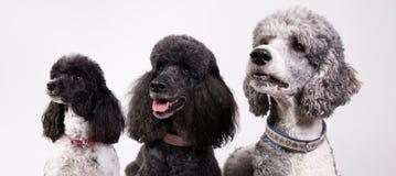 Grupo de três caniches Imagens de Stock Royalty Free