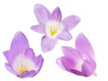 Grupo de três flores lilás do açafrão Fotografia de Stock