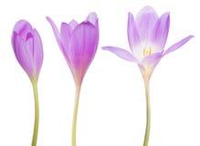 Grupo de três flores lilás do açafrão no branco Fotografia de Stock Royalty Free