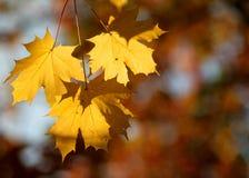 Grupo de três folhas de outono imagem de stock